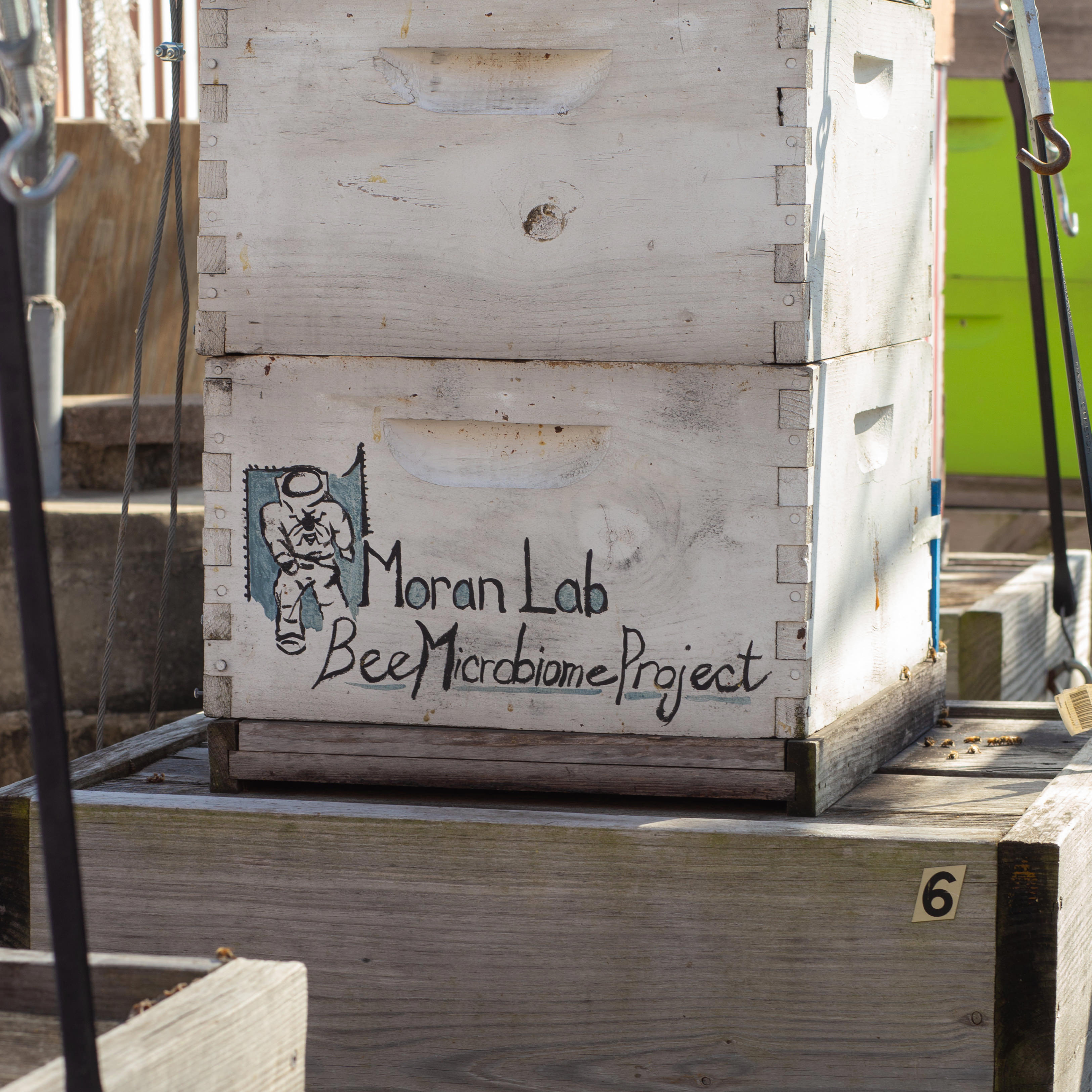 A box of bees from the Moran Lab